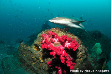 Vivid soft corals and a banded houndshark