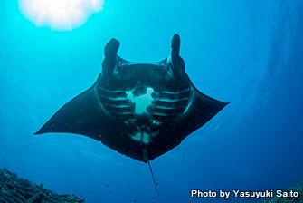 The rare black manta rays are occasionally seen in this site!