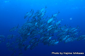 Chances of seeing schools of bigeye trevally and other pelagic fish are very high