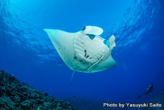 Until 2017, manta rays could only be seen in winter. But thanks to the discovery of cleaning stations, now you can dive with manta rays all year around