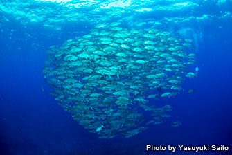 "The tornado of bigeye trevally. You can see them in ""Imazuni"", which is one of the exciting dive sites in Kume Island"