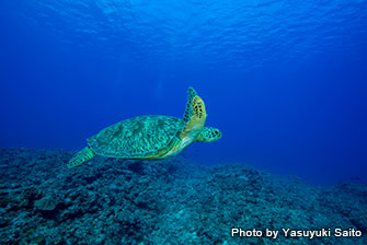 If you're lucky, you can encounter more than 50 sea turtles in Kame Paradise !