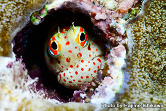 Now, you can see red-spotted blenny in lots of places in the world. In Japan, red-spotted blenny were first found in Kume Island