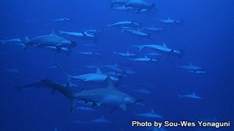 Possibility of seeing more than 100 hammerhead sharks!