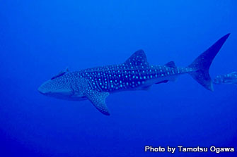 Whale sharks visit Yonaguni Island from time to time