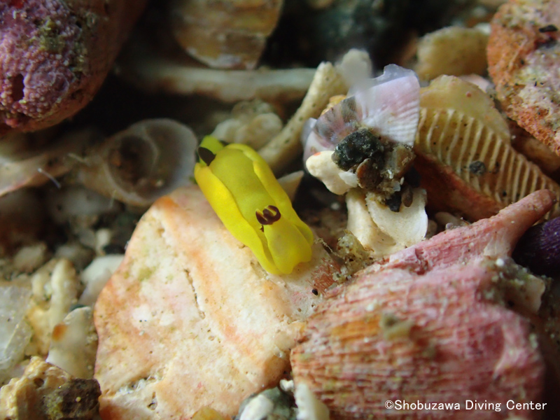 Many Siphopteron flavum are being found