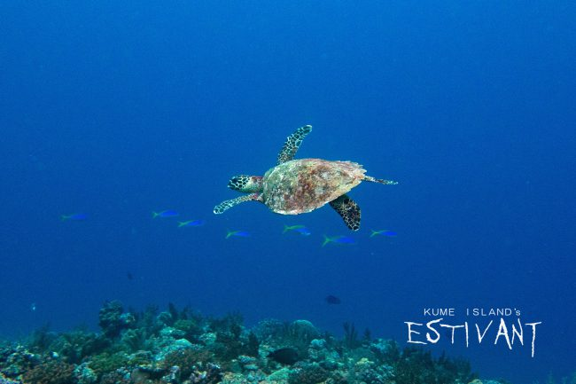 This is hawksbill sea turtle. 3 types of sea turtles (green sea turtle, red sea turtle, and hawksbill sea turtle) were all seen on the same day!