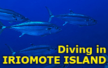 Diving in Iriomote Island