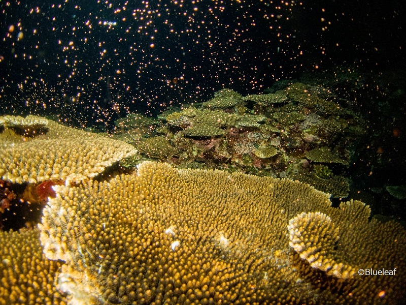 Coral spawning at Okinawa Main Island