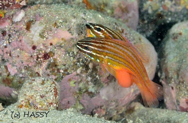 Copperstriped cardinalfish
