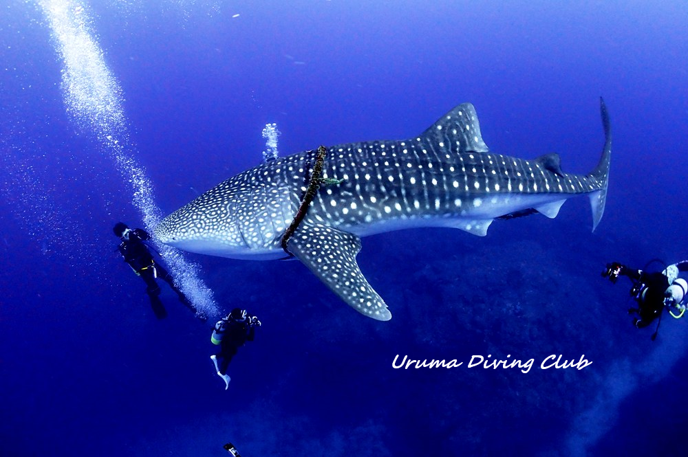 Whale Shark with rope around him