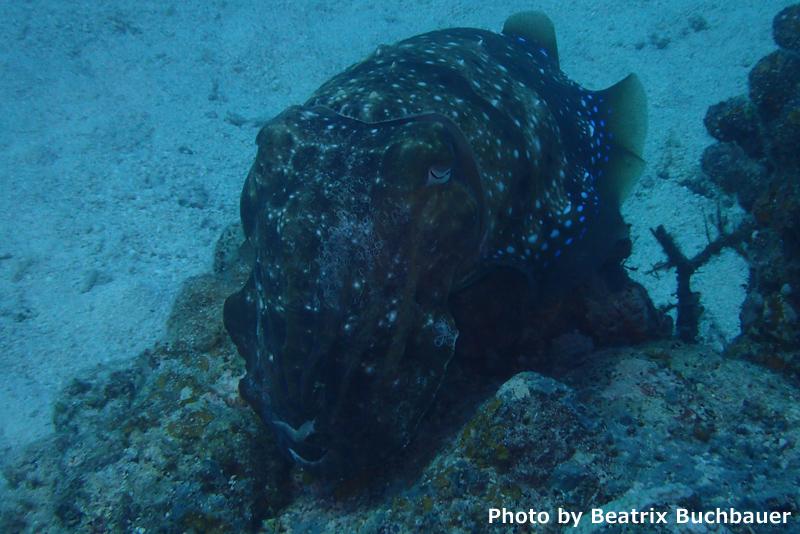 Giant cuttlefish at Taketomi Slender Sweeper Reef (Olympus Stylus TG4)