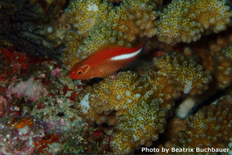Ring eye hawkfish at Panari Manta Point Ishigaki (Olympus Stylus TG4)