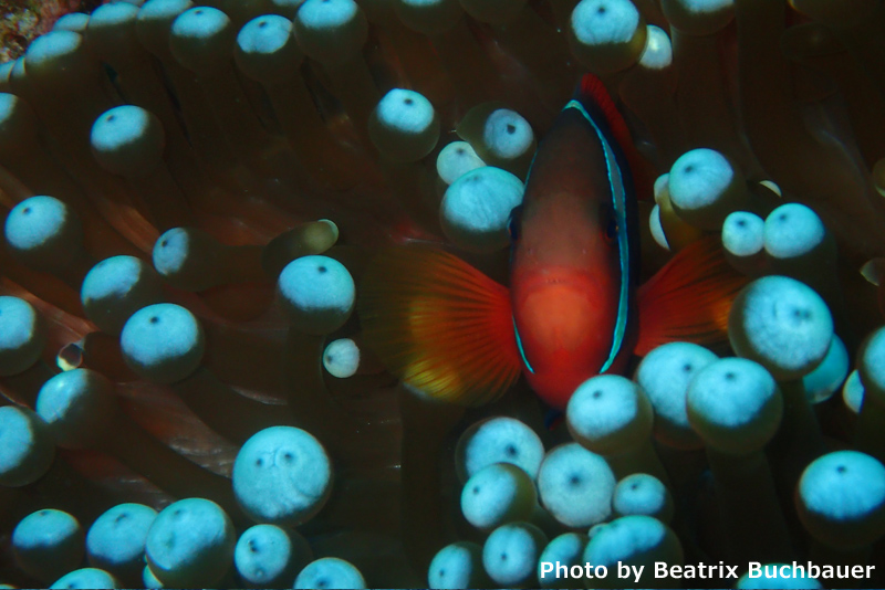 Tomato anemone fish at Three Rock, Iriomote (Olympus Stylus TG4)