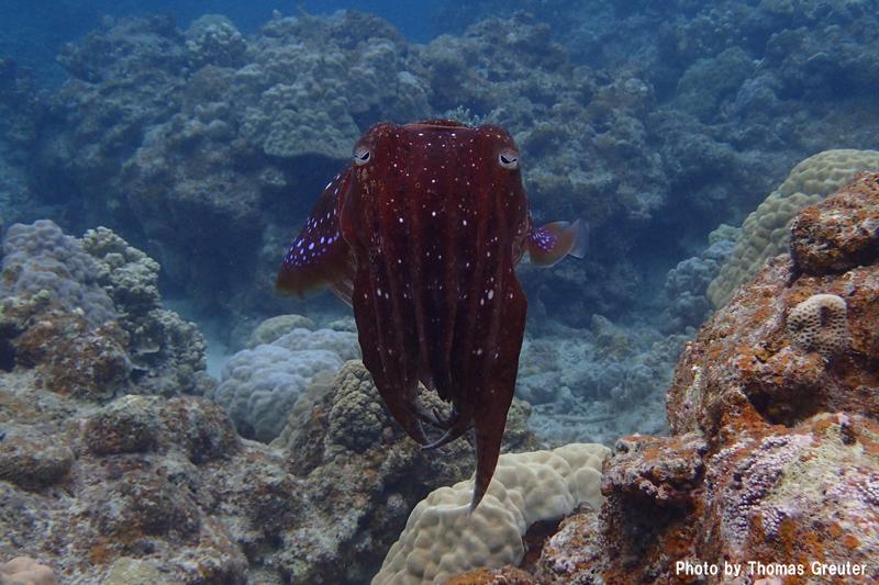 Broadclub cuttlefish (Olympus Stylus TG4)