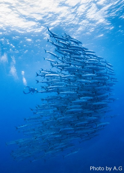 Tornado of barracuda