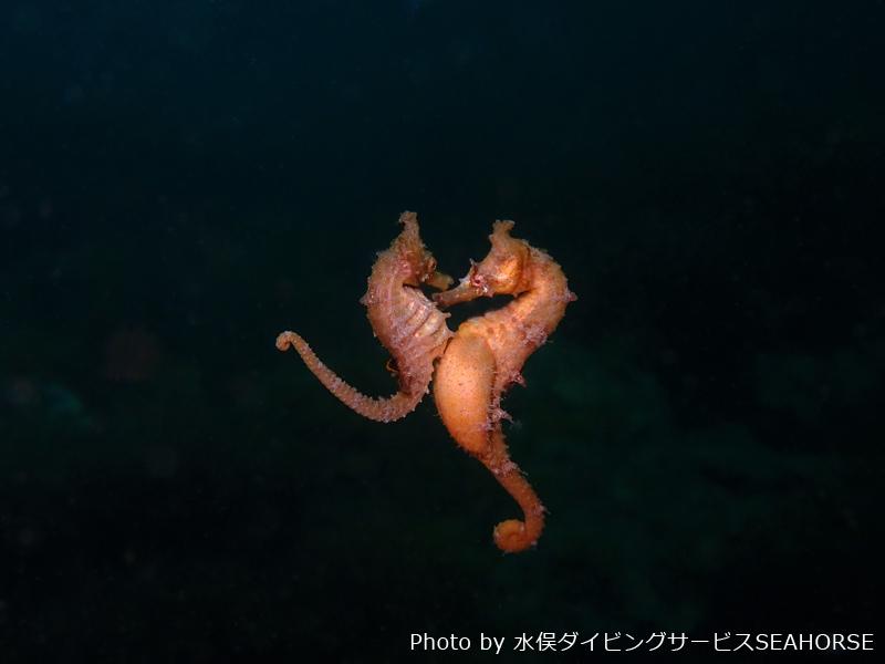 Mating dance of Korean seahorse